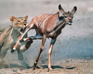 Përleshja e luanit dhe antilopës, vetëm një mbijeton