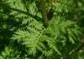 Artemisia, bima që kuron 100 % kancerin