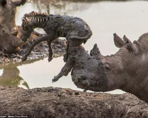 E rrallë/ Rinoceronti ndihmon zebrën të dalë nga balta