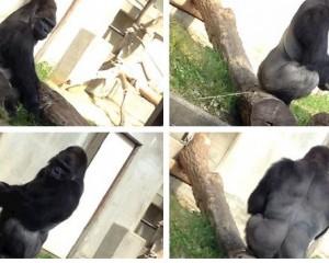 Dyndje femrash për të parë gorrillën në Kopshtin Zoologjik